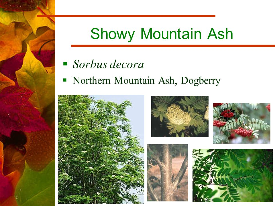 Showy Mountain Ash  Sorbus decora  Northern Mountain Ash, Dogberry