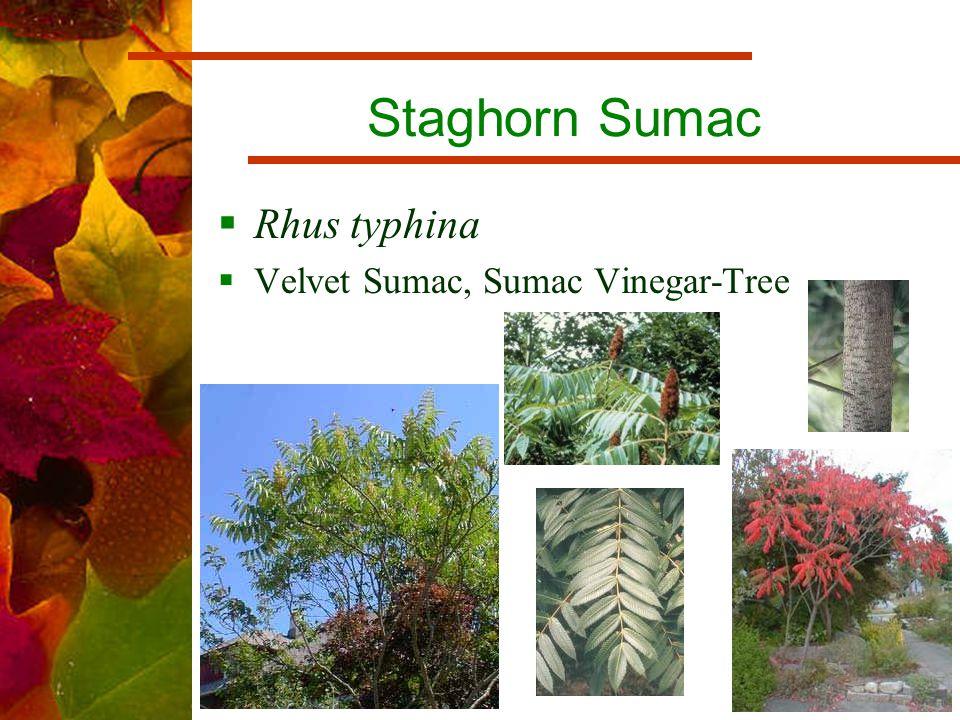 Staghorn Sumac  Rhus typhina  Velvet Sumac, Sumac Vinegar-Tree
