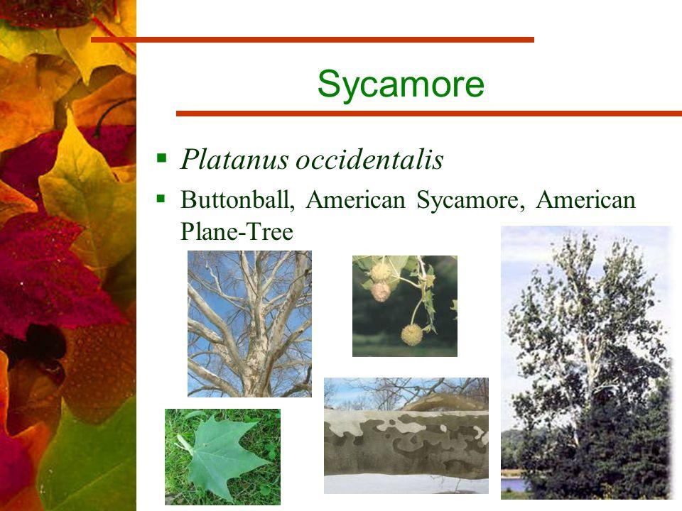 Sycamore  Platanus occidentalis  Buttonball, American Sycamore, American Plane-Tree