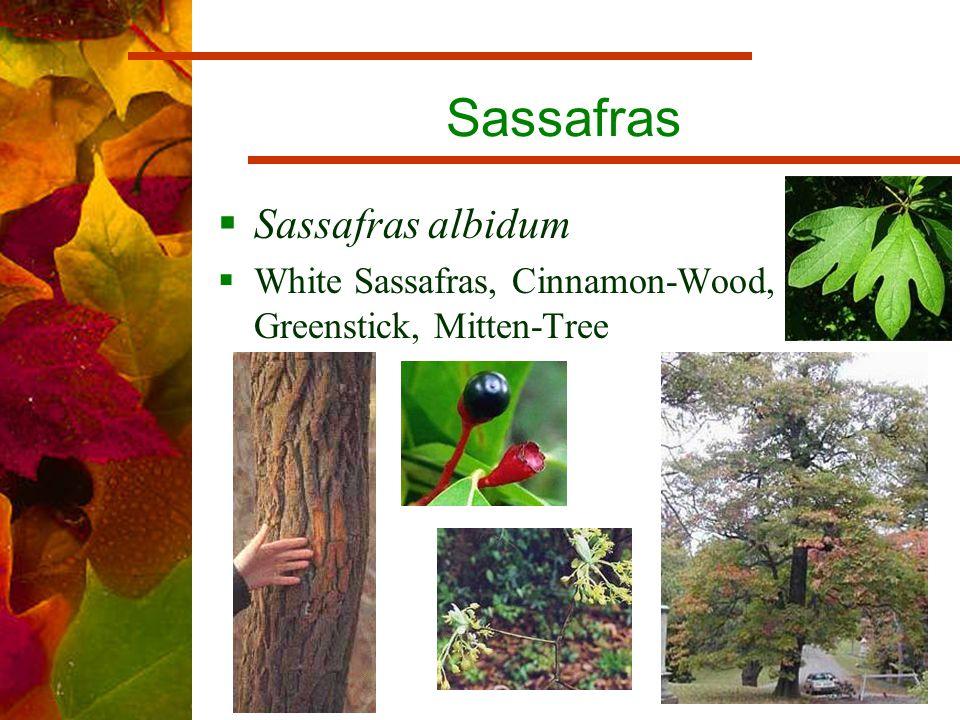 Sassafras  Sassafras albidum  White Sassafras, Cinnamon-Wood, Greenstick, Mitten-Tree