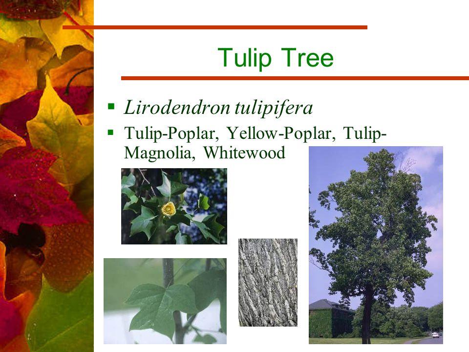 Tulip Tree  Lirodendron tulipifera  Tulip-Poplar, Yellow-Poplar, Tulip- Magnolia, Whitewood