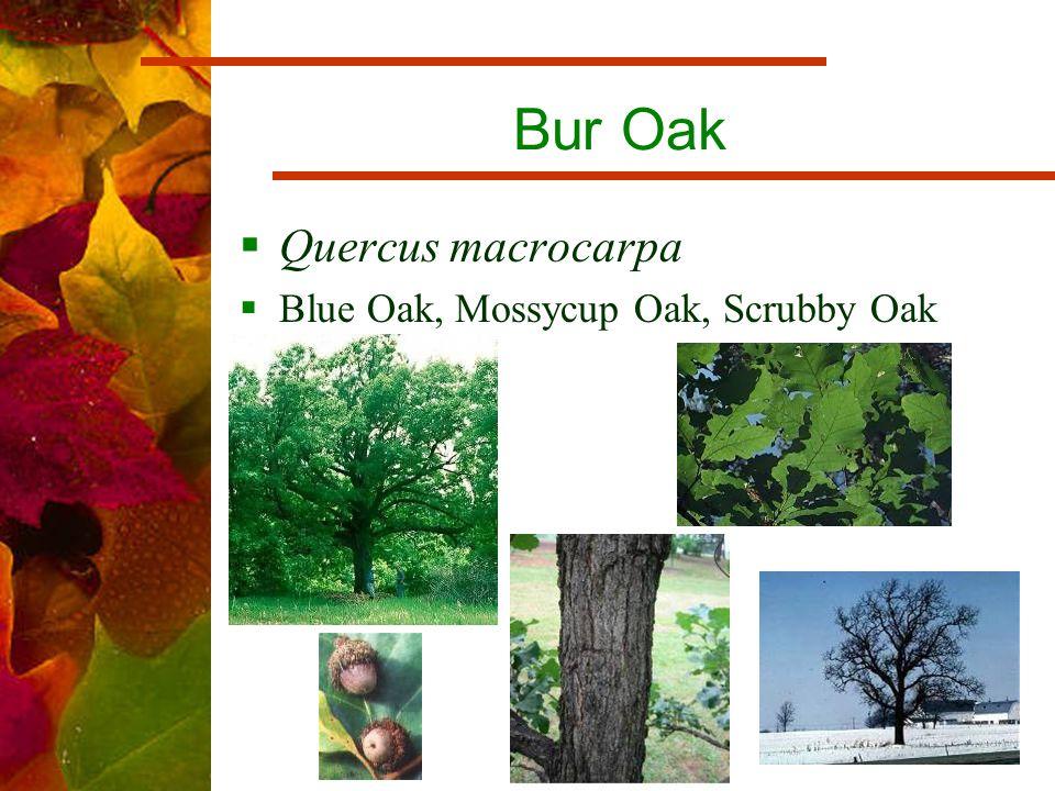 Bur Oak  Quercus macrocarpa  Blue Oak, Mossycup Oak, Scrubby Oak