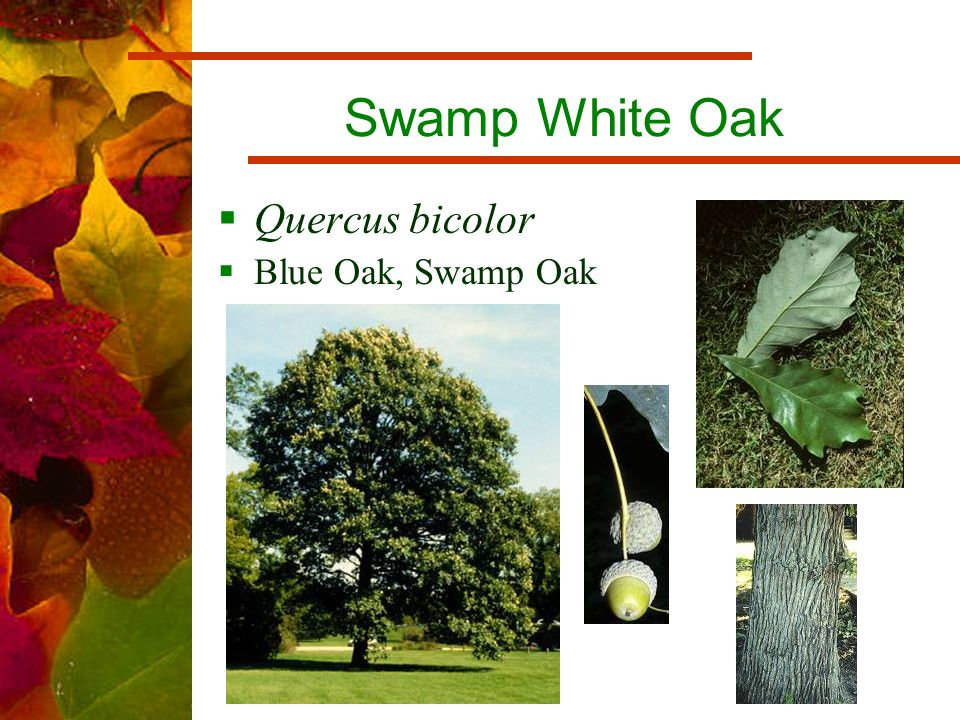 Swamp White Oak  Quercus bicolor  Blue Oak, Swamp Oak