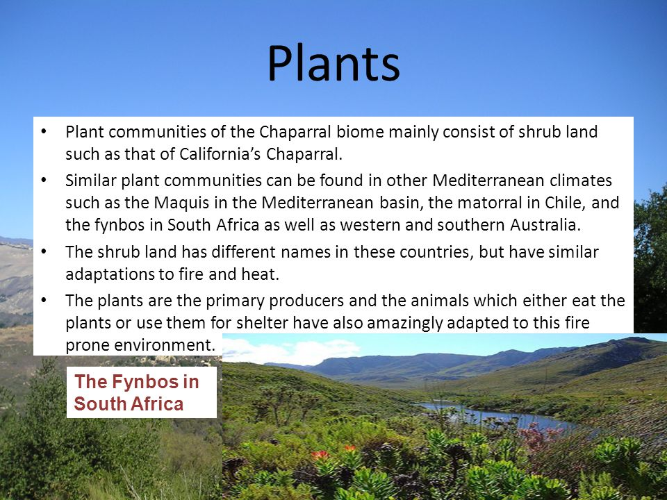 Plants Plant communities of the Chaparral biome mainly consist of shrub land such as that of California's Chaparral. Similar plant communities can be
