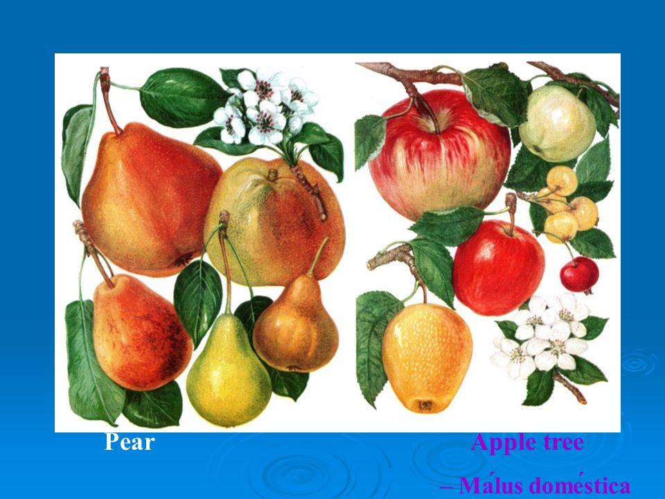 Pear Apple tree – Malus domestica