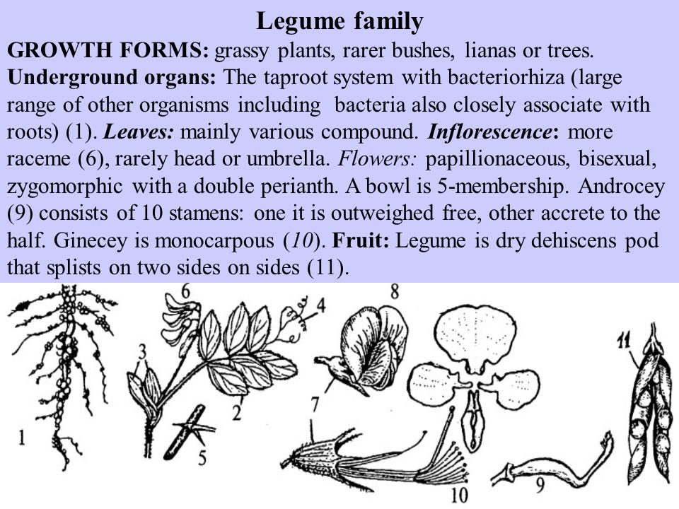 Legume family GROWTH FORMS: grassy plants, rarer bushes, lianas or trees.