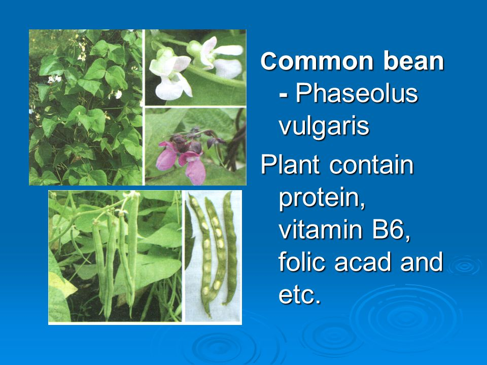 C ommon bean - Phaseolus vulgaris Plant contain protein, vitamin B6, folic acad and etc.