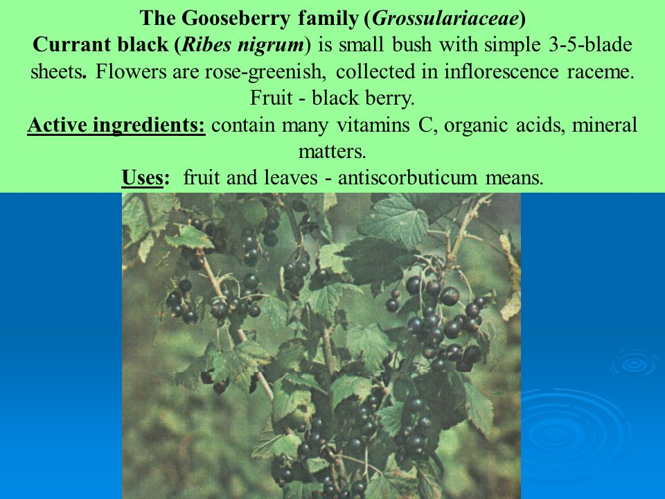 The Gooseberry family (Grossulariaceae) Currant black (Ribes nigrum) is small bush with simple 3-5-blade sheets.