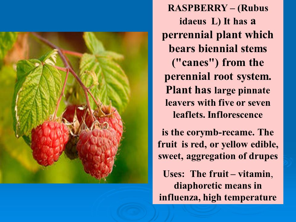 RASPBERRY – (Rubus idaeus L) It has a perrennial plant which bears biennial stems ( canes ) from the perennial root system.