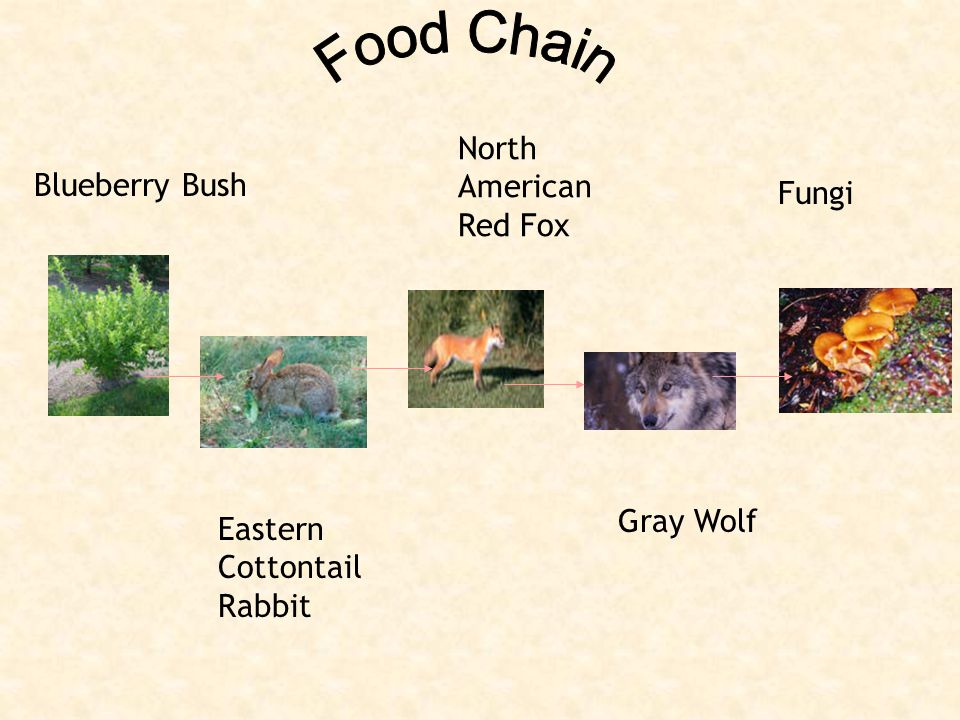 Blueberry Bush North American Red Fox Eastern Cottontail Rabbit Gray Wolf Fungi
