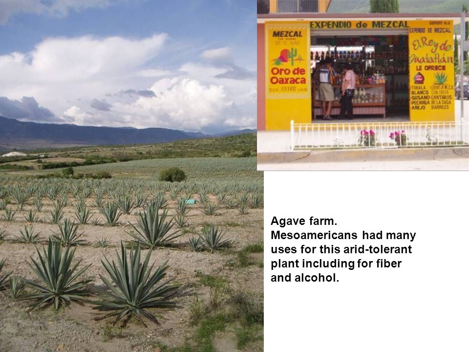 Agave farm. Mesoamericans had many uses for this arid-tolerant plant including for fiber and alcohol.