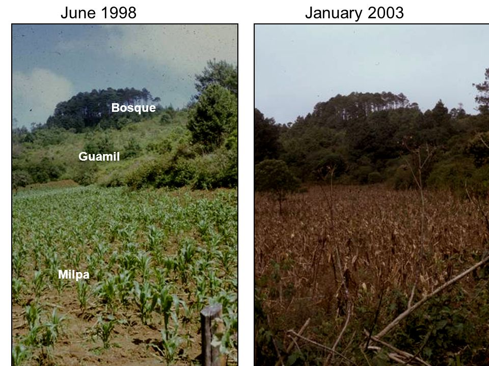 June 1998January 2003 Milpa Guamil Bosque
