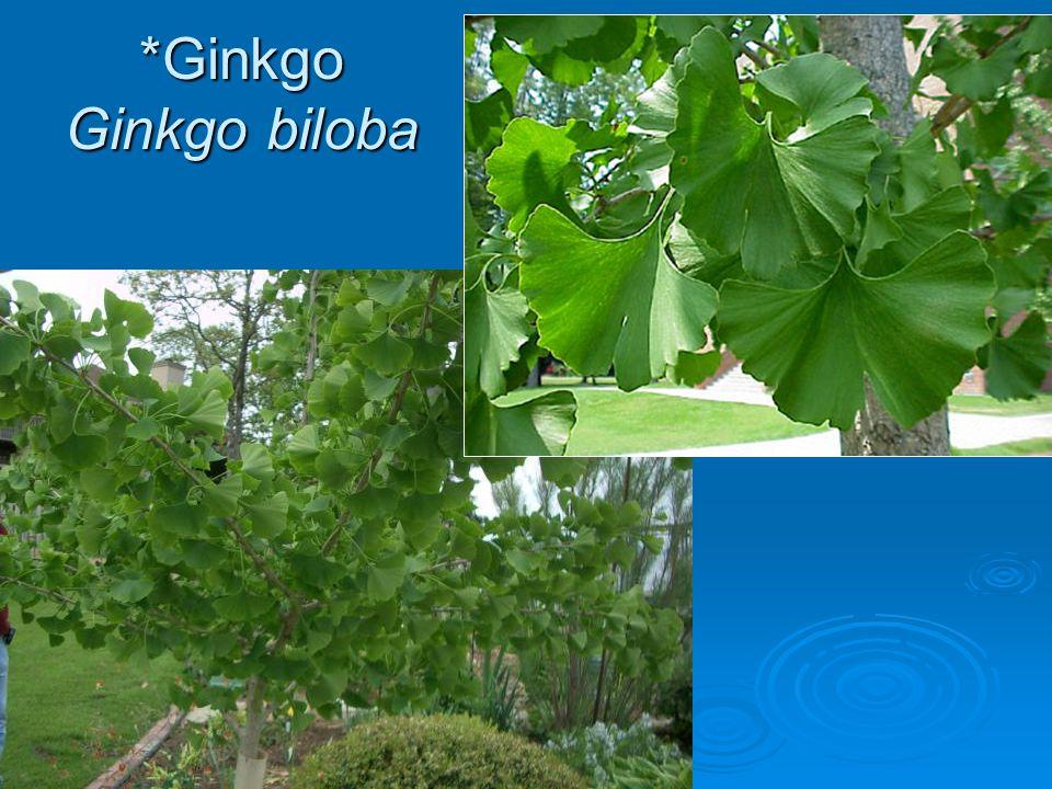 *Ginkgo Ginkgo biloba