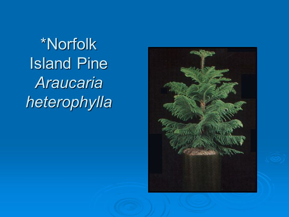 *Norfolk Island Pine Araucaria heterophylla