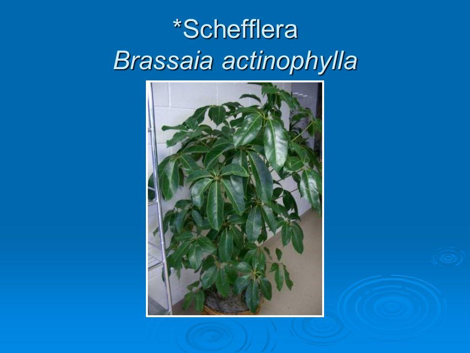 *Schefflera Brassaia actinophylla