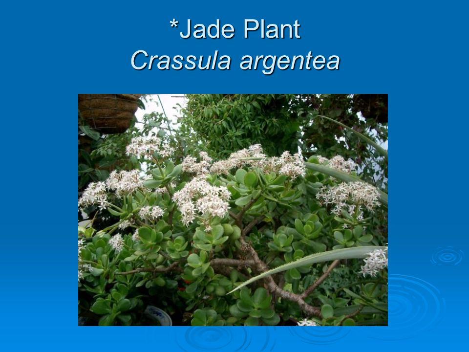 *Jade Plant Crassula argentea
