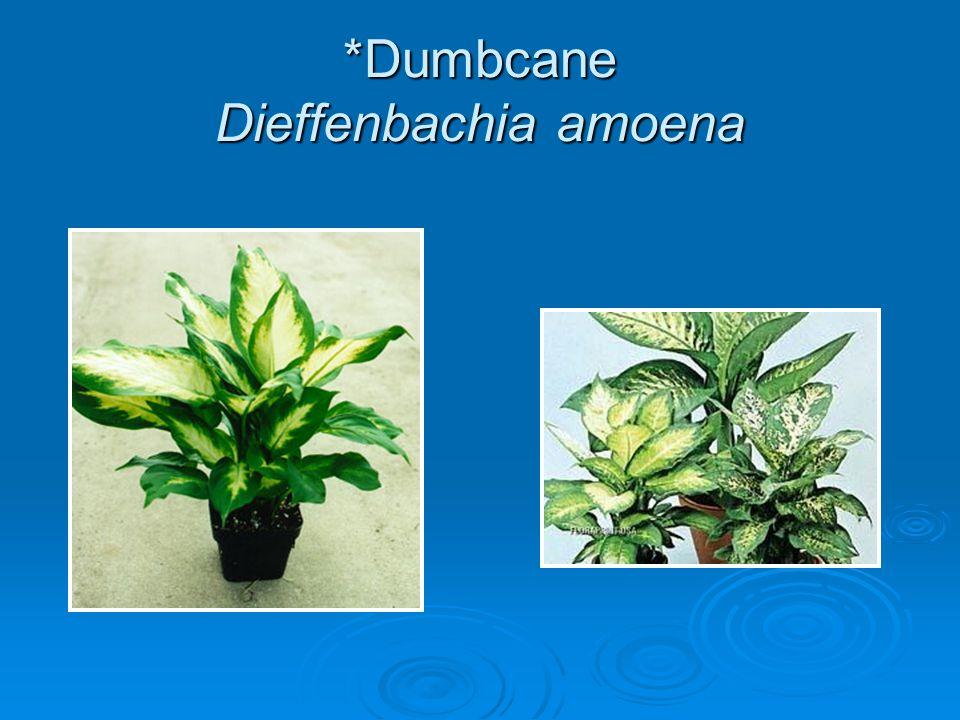 *Dumbcane Dieffenbachia amoena