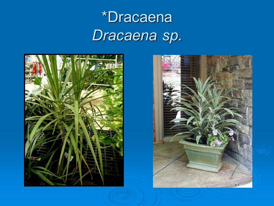 *Dracaena Dracaena sp.
