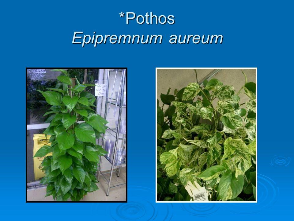 *Pothos Epipremnum aureum
