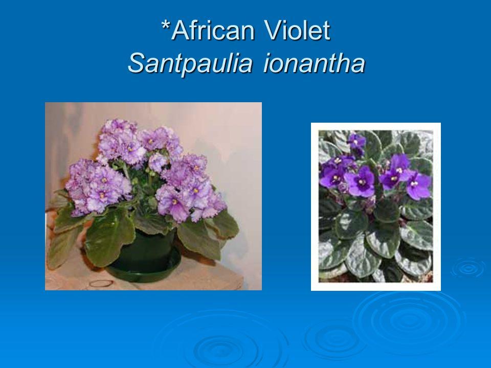 *African Violet Santpaulia ionantha