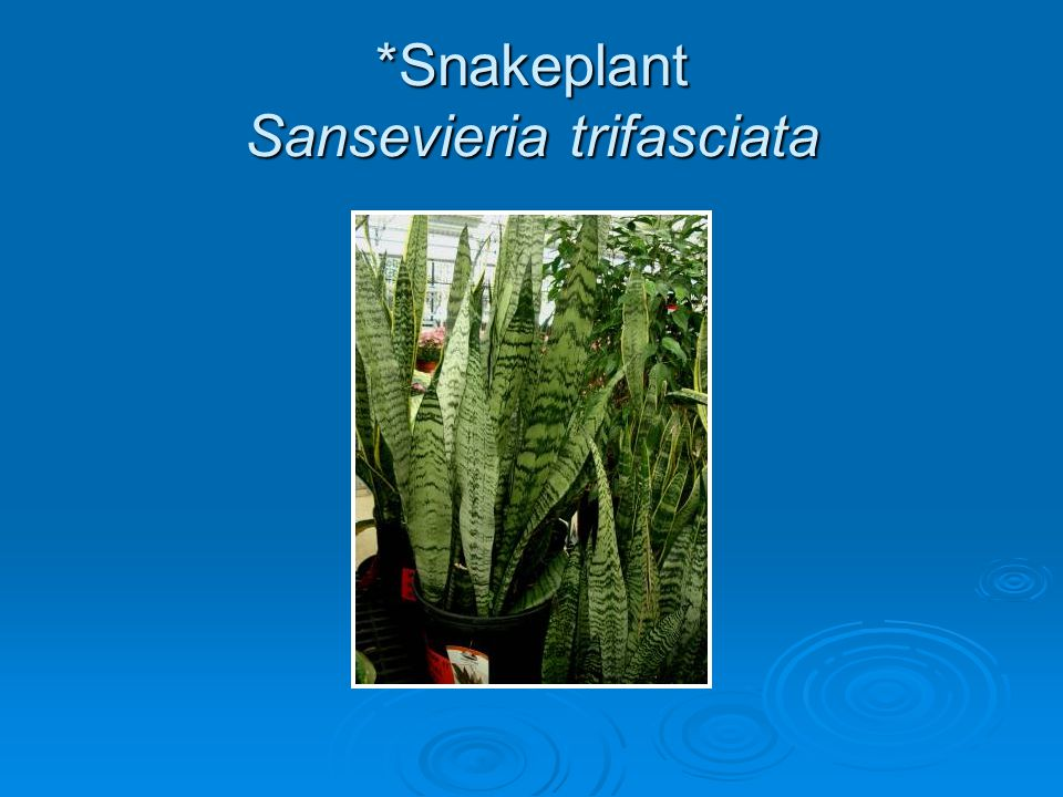*Snakeplant Sansevieria trifasciata