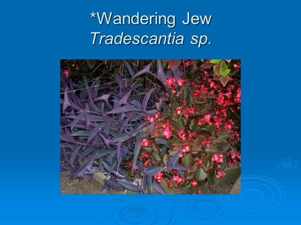 *Wandering Jew Tradescantia sp.