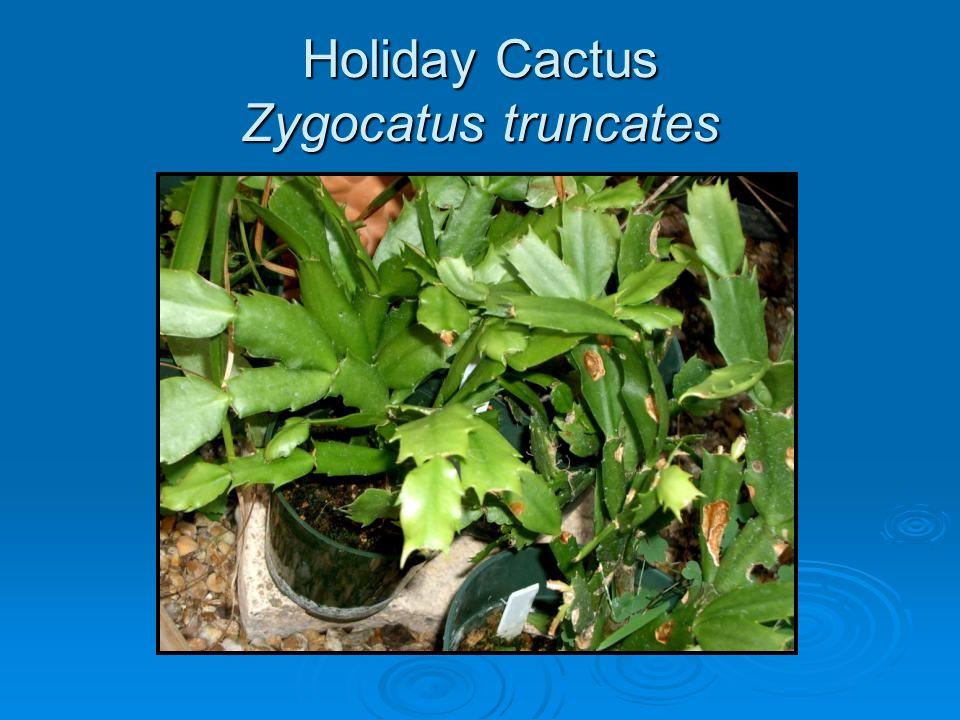 Holiday Cactus Zygocatus truncates
