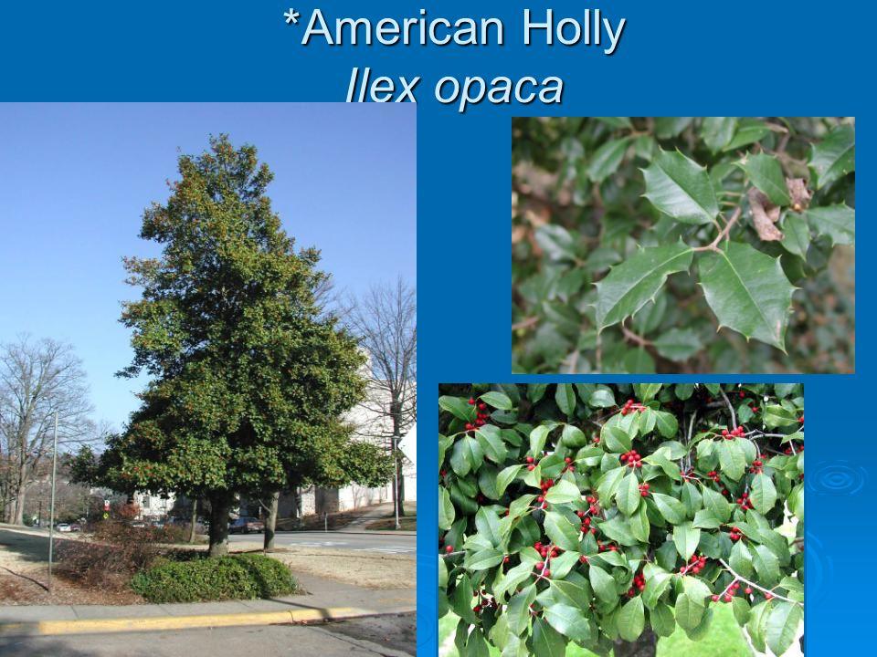 *American Holly Ilex opaca