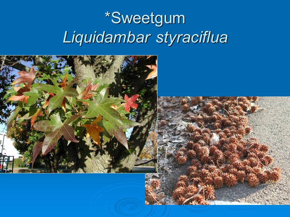 *Sweetgum Liquidambar styraciflua