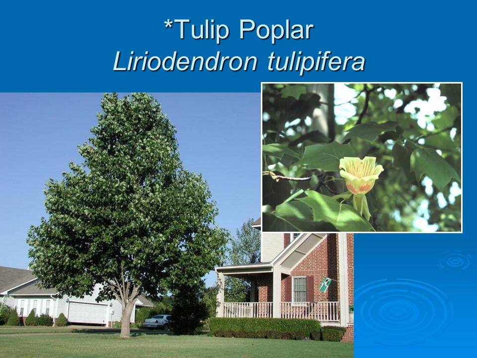 *Tulip Poplar Liriodendron tulipifera
