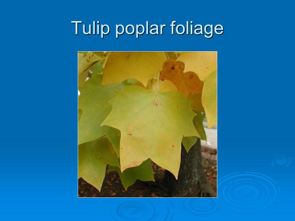 Tulip poplar foliage