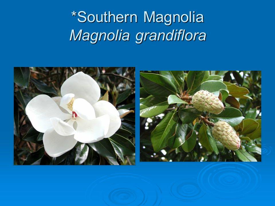 *Southern Magnolia Magnolia grandiflora