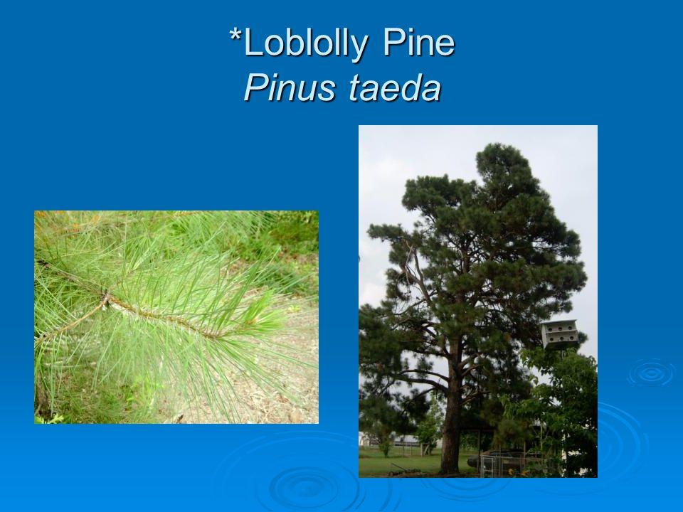 *Loblolly Pine Pinus taeda