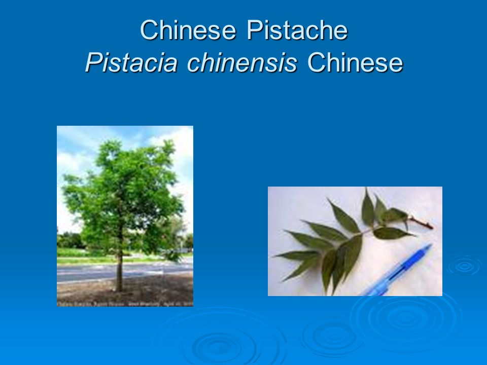 Chinese Pistache Pistacia chinensis Chinese
