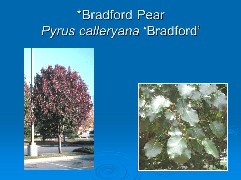 *Bradford Pear Pyrus calleryana 'Bradford'