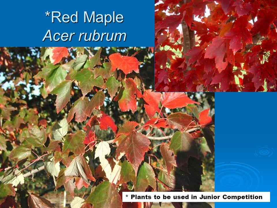 *Red Maple Acer rubrum * Plants to be used in Junior Competition
