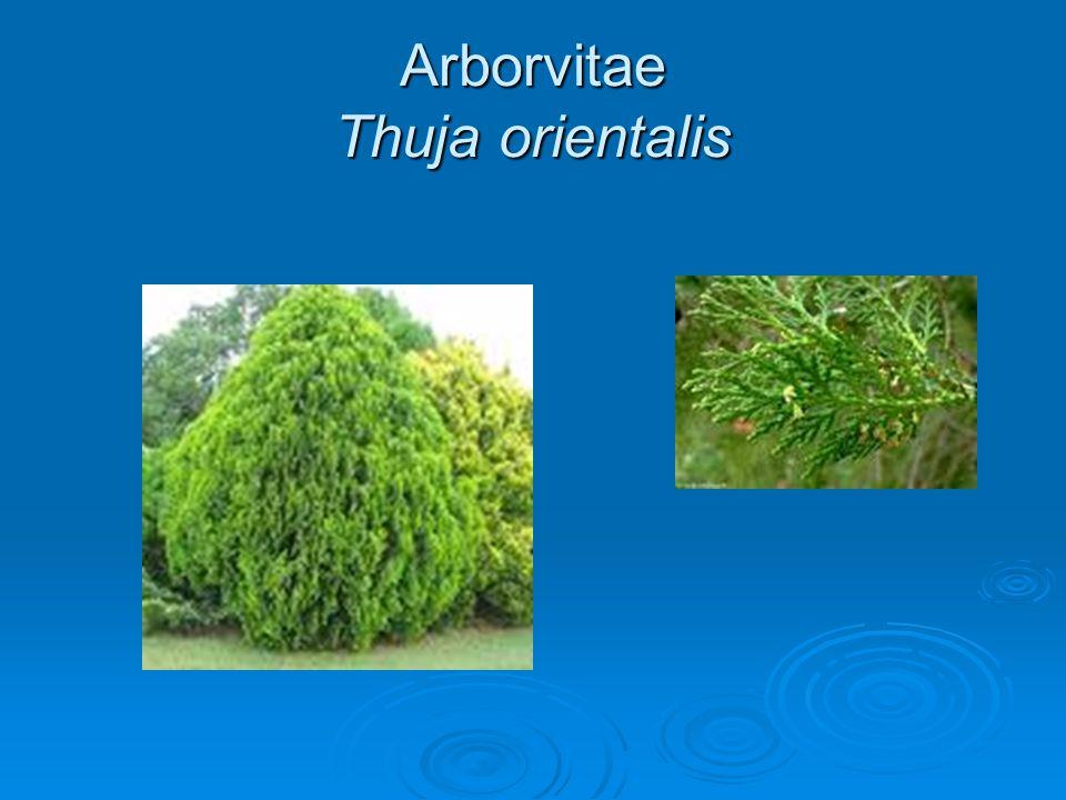 Arborvitae Thuja orientalis