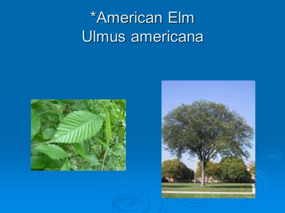 *American Elm Ulmus americana