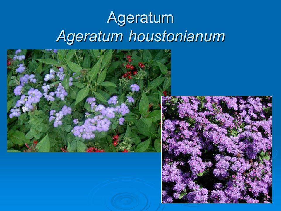 Ageratum Ageratum houstonianum