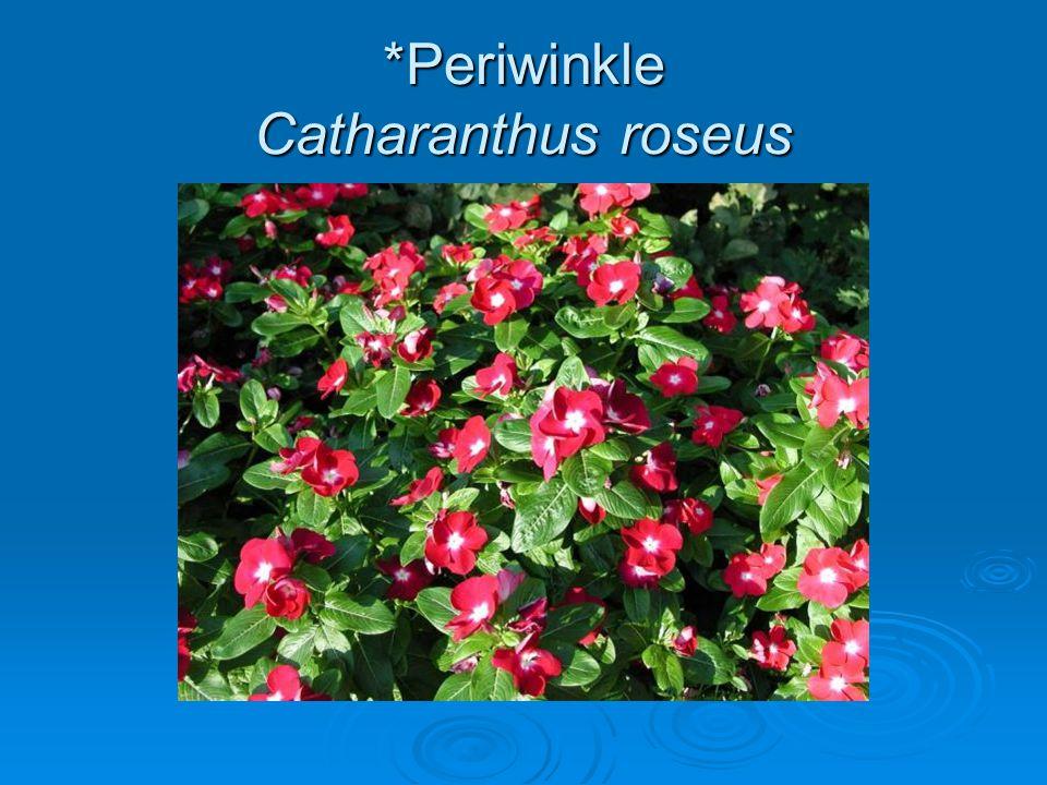 *Periwinkle Catharanthus roseus