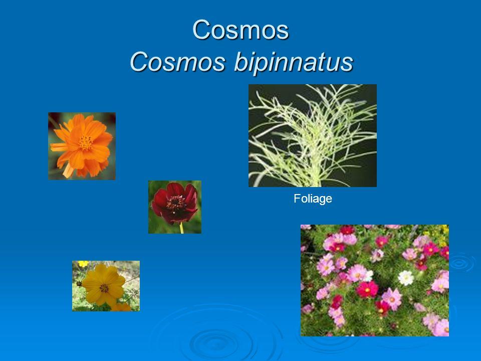 Cosmos Cosmos bipinnatus Foliage