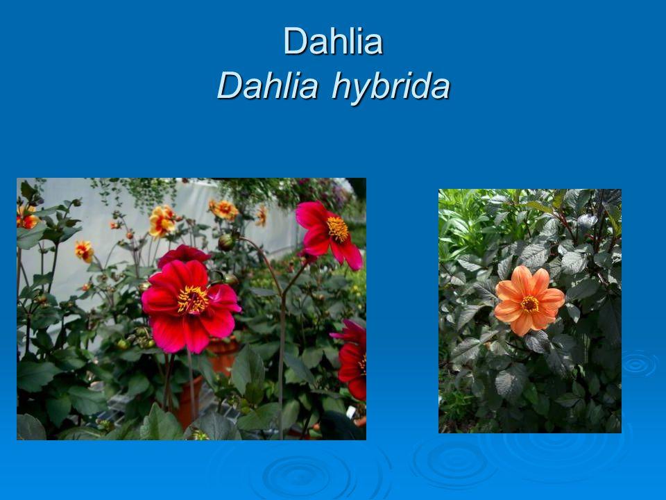 Dahlia Dahlia hybrida