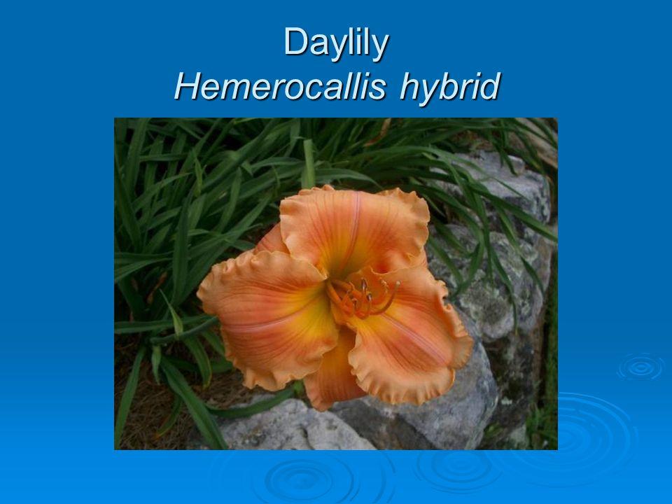 Daylily Hemerocallis hybrid