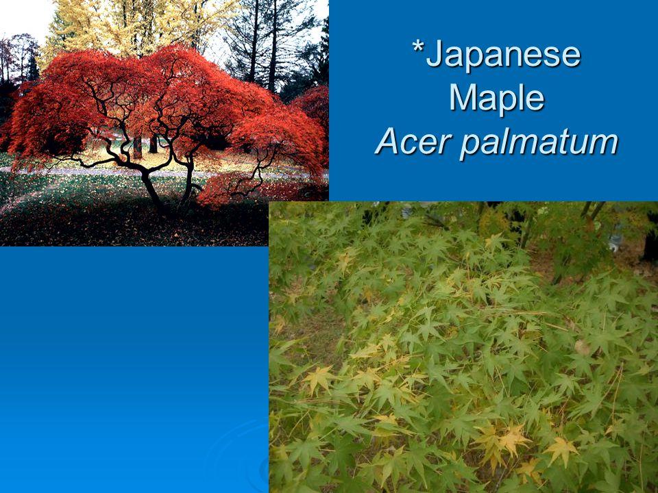 River Birch – Betula nigra