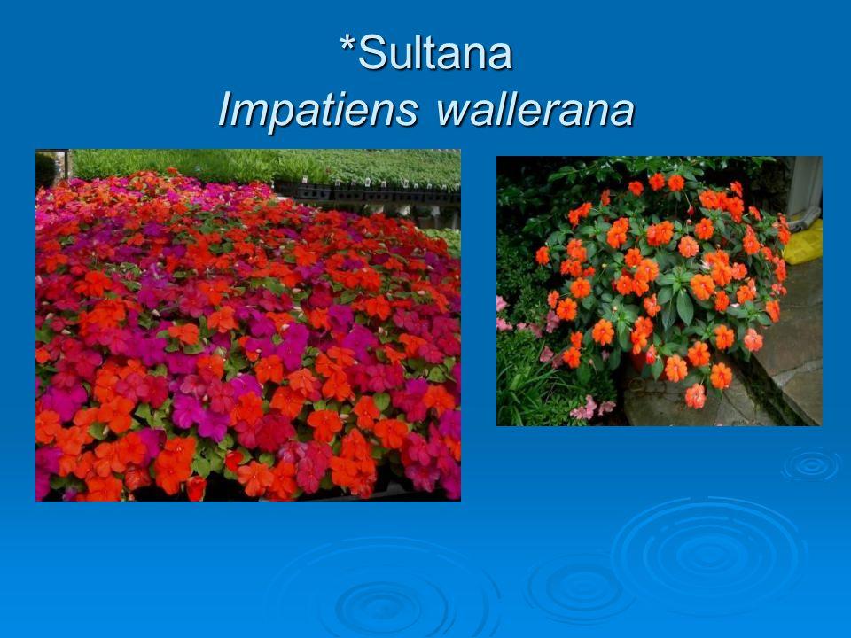*Sultana Impatiens wallerana