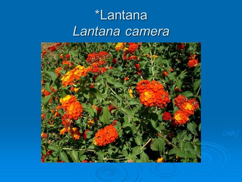 *Lantana Lantana camera
