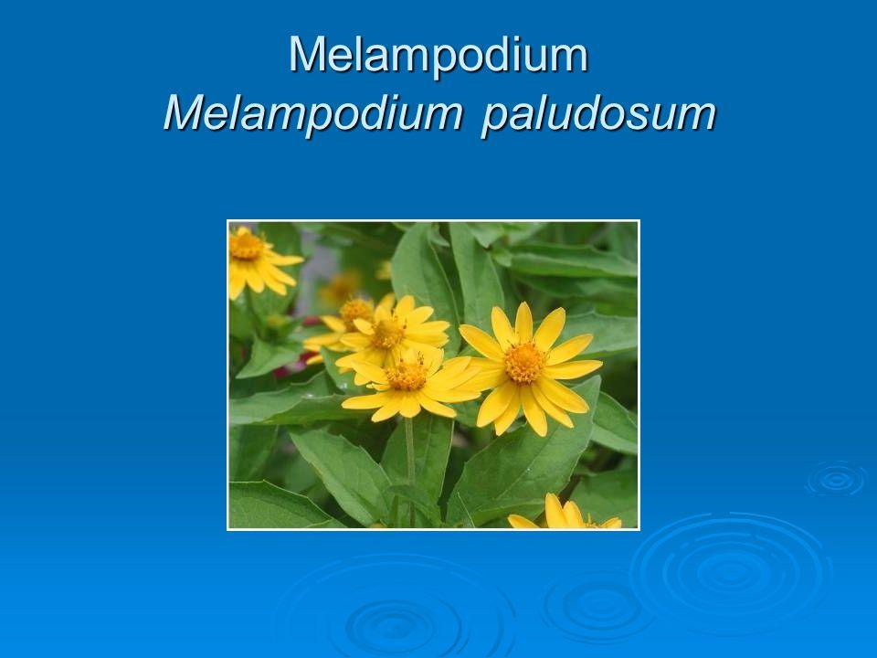 Melampodium Melampodium paludosum