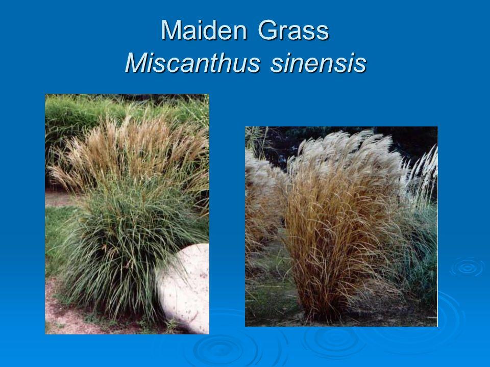 Maiden Grass Miscanthus sinensis