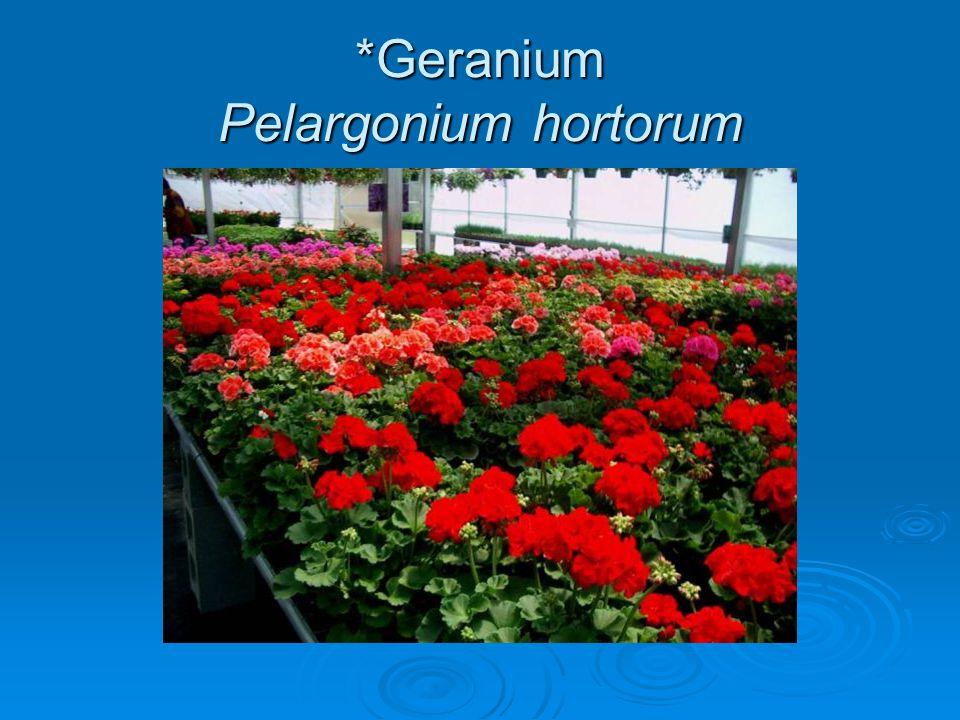 *Geranium Pelargonium hortorum