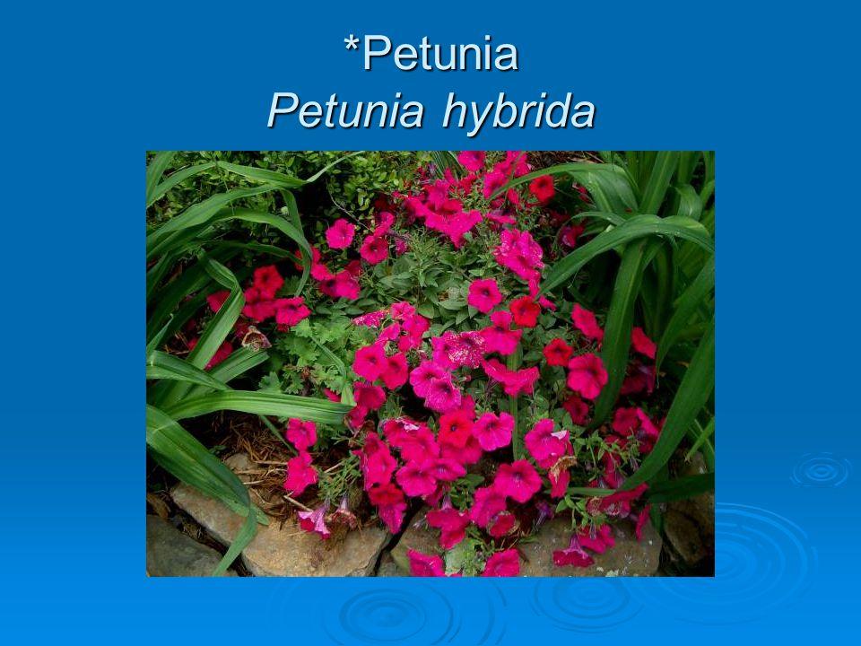 *Petunia Petunia hybrida